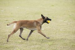 Belgium Malinu a dog. It is a Belgian Malinois, Malinu a dog, only a short haired Belgian Shepherd 4 types, is the famous ancient varieties. Because of its good Royalty Free Stock Photos