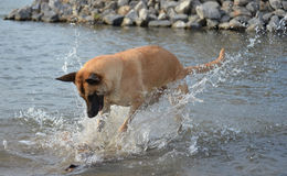 Belgian Malinois playing in water. Belgian female Malinois enjoying herself in the water of The Meuse in Holland Stock Photo