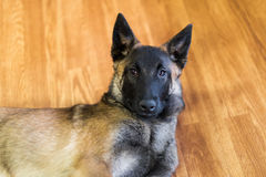 Belgian Malinois Puppy Inside. One male family pet Belgian Malinois puppy inside on hardwood floor Royalty Free Stock Image