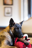 Belgian Malinois Puppy Inside. One male family pet Belgian Malinois puppy inside on hardwood floor with red dog toy Royalty Free Stock Image