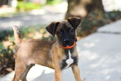 Belgian Malinois puppy mix. with floppy ears stock photos