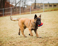 Belgian Malinois puppy playing fetch. One adorable Belgian Malinois puppy playing fetch with a football outside at a dog park off leash Royalty Free Stock Image