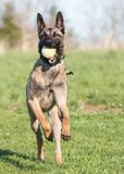 Belgian Malinois running with ball. Belgian Malinois puppy running in a yard with a green ball Stock Images