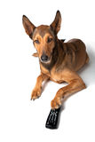 Belgian Malinois with Remote Control Royalty Free Stock Image