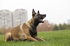 Belgian Malinois stock photos