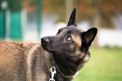 The Belgian Malinois shepherd dog listens well to his master`s orders stock photo