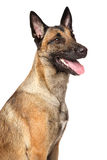 Belgian Malinois shepherd dog. Portrait of Belgian shepherd dog Malinois isolated on a white background Royalty Free Stock Image