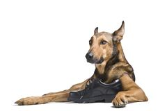 Belgian Malinois with shoe Royalty Free Stock Photo