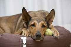 Belgian Malinois sleeping on tennis ball Stock Photos