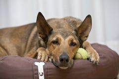 Belgian Malinois sleeping on tennis ball Stock Photos