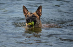 Belgian Malinois swimming. Belgian Malinois dog swimming with little ball in mouth in The Meuse in Holland Stock Image