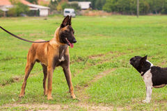 Belgian Malinois young puppy and French Bulldog. In park Stock Photos