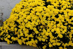 Belgian Mum Allegra Yellow, Chrysanthemum morifolium `Allegra Yellow` stock photo