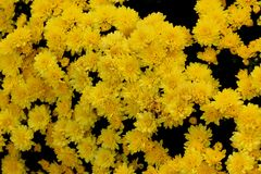 Belgian Mum Allegra Yellow, Chrysanthemum morifolium `Allegra Yellow` stock photography