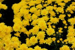 Belgian Mum Allegra Yellow, Chrysanthemum morifolium `Allegra Yellow` royalty free stock image