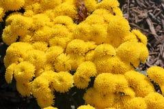 Belgian Mum Allegra Yellow, Chrysanthemum morifolium `Allegra Yellow` Royalty Free Stock Images