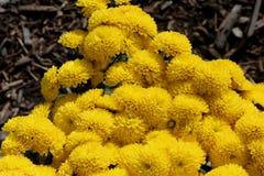 Belgian Mum Allegra Yellow, Chrysanthemum morifolium `Allegra Yellow` Stock Photo