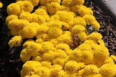 Belgian Mum Allegra Yellow, Chrysanthemum morifolium `Allegra Yellow` Stock Image
