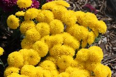 Belgian Mum Allegra Yellow, Chrysanthemum morifolium `Allegra Yellow` royalty free stock photography