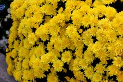 Belgian Mum Allegra Yellow, Chrysanthemum morifolium `Allegra Yellow` royalty free stock images