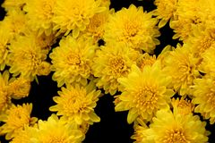Belgian Mum Allegra Yellow, Chrysanthemum morifolium `Allegra Yellow` royalty free stock photos