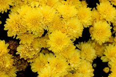 Belgian Mum Allegra Yellow, Chrysanthemum morifolium `Allegra Yellow` royalty free stock photo