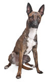 belgian psia malinois baca obraz stock