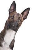 belgian psia malinois baca zdjęcia stock
