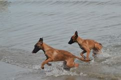 Belgian Puppies running along the beach Stock Photography
