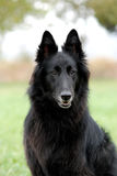 Belgian Sheepdog Royalty Free Stock Photos