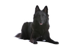 Belgian Sheepdog Royalty Free Stock Image