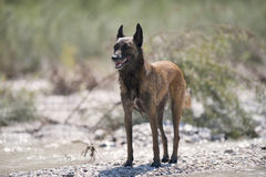 Belgian Sheepdog on beach in a summer time royalty free stock images