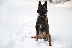 Belgian sheepdog malinois Stock Image