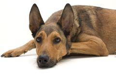 Belgian Sheepdog resting. Belgian Sheepdog, Malinois, is resting and looking straight into the camera royalty free stock photography