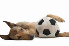 Belgian Sheepdog resting on toy. Belgian Sheepdog, Malinois, is resting with his soccer ball toy stock photography