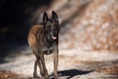 Belgian Sheepdog walking attentively. On a sunny autumn day. He is relaxed, but his ears are up listening what is around him Stock Photography