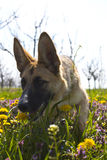 Belgian shepard sniffing in the spring grass Royalty Free Stock Photography