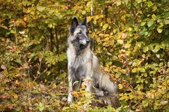 Belgian shepherd Stock Images