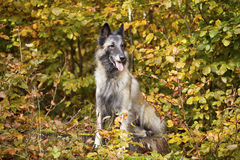 Belgian shepherd Royalty Free Stock Photos