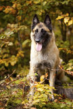 Belgian shepherd. A portrait of a belgian shepherd photographed in an autumnal forrest stock photos
