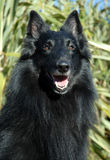 Belgian shepherd. Beautiful portrait of purebred belgian shepherd : attentive watching dog Stock Photo