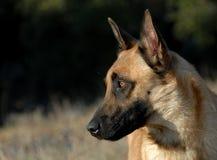 Belgian shepherd Royalty Free Stock Photo