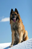 Belgian shepherd. Tervueren on snow stock images