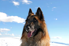 Belgian shepherd. Tervueren on snow royalty free stock photos