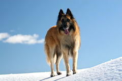 Belgian shepherd. Tervueren on snow stock image