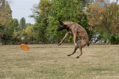 Belgian Shepherd on agility competition, jumping outdoor Royalty Free Stock Photography