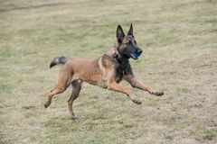 Belgian Shepherd on agility competition, jumping outdoor Stock Image