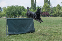 Belgian Shepherd on agility competition, over the bar jump Royalty Free Stock Photos