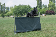 Belgian Shepherd on agility competition, over the bar jump. Royalty Free Stock Photography