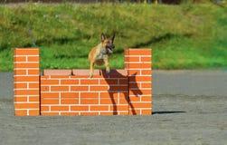 Belgian Shepherd in agility Royalty Free Stock Images